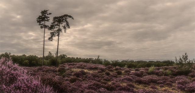 an evening walk .... the heather is still in beautiful purple colors