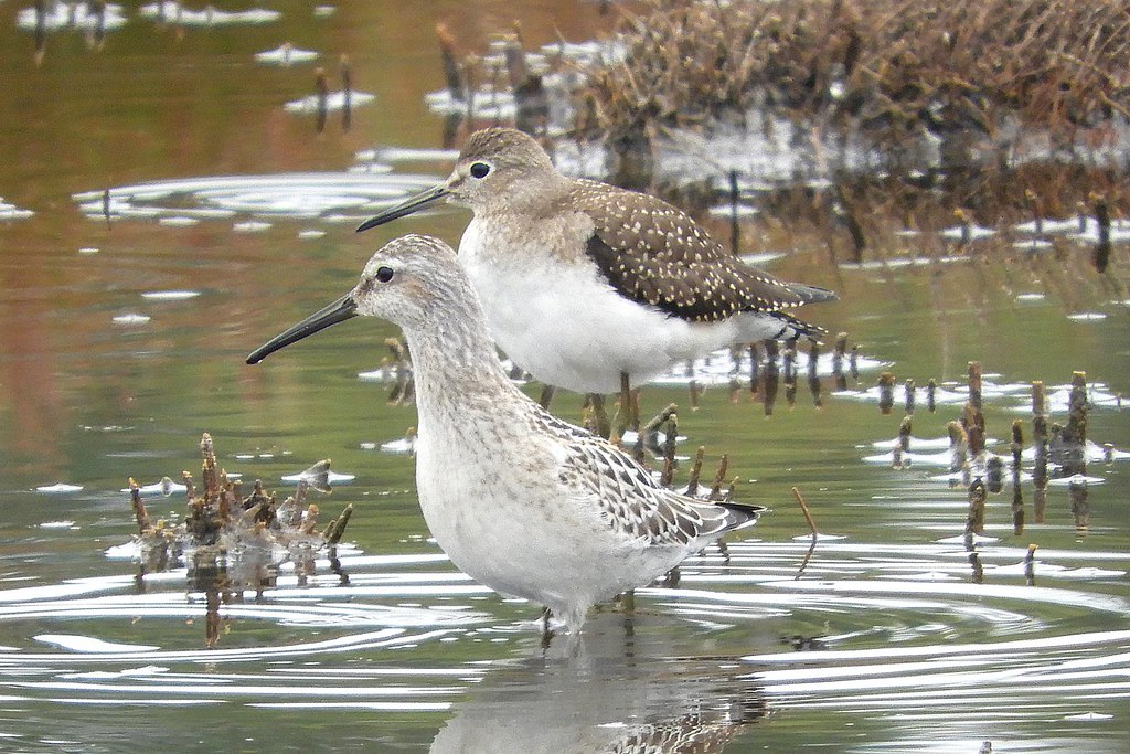 Stilt Sandpiper and Solitary Sandpiper