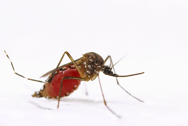 A crammed female Aedes aegypti mosquito