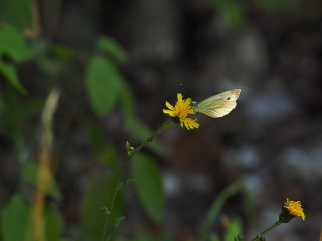 Falter auf einsamer Blüte
