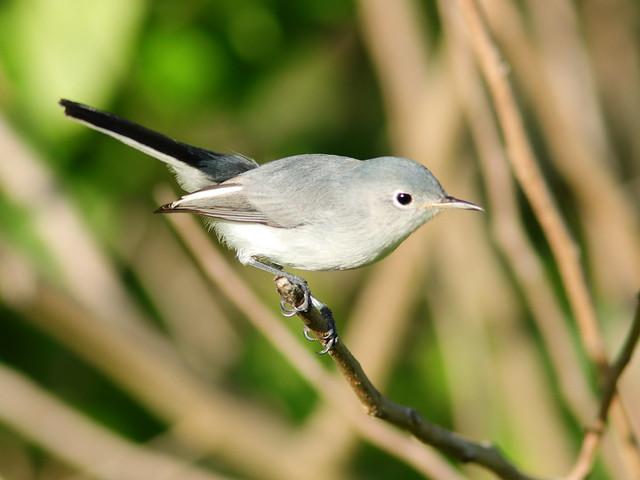 Blue-gray Gnatcatcher 01-20200908