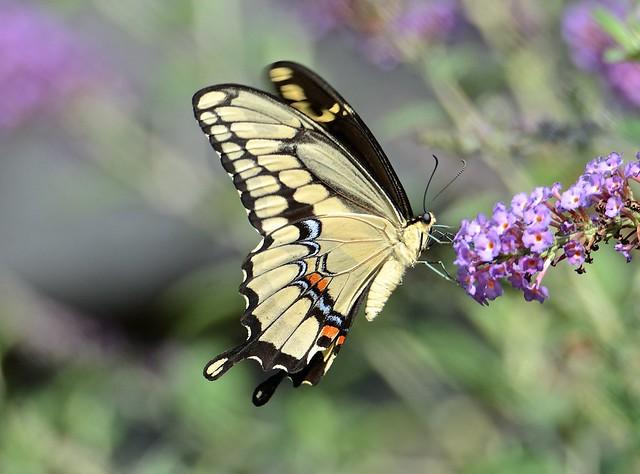 Giant Swallowtail (3 of 3)
