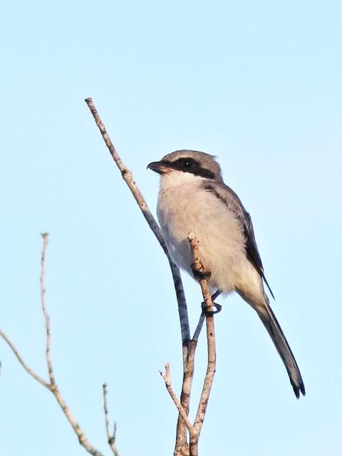 Loggerhead Shrike 02-20200908