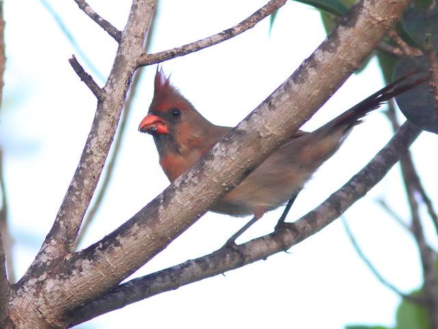 Northern Cardinal female 20200908
