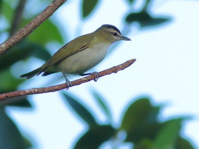 Red-eyed Vireo 20200908