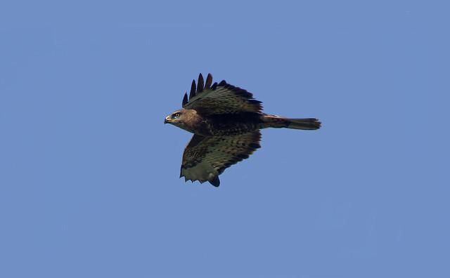 Канюк - Common Buzzard