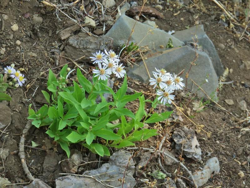 Wildflower along the Rattlesnake Mountain Trail