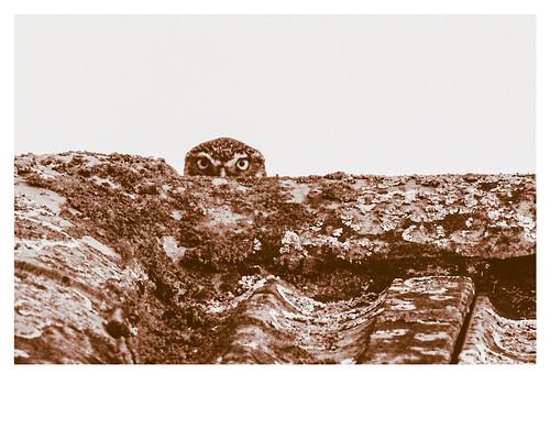 Mocho-galego (Athene noctua)
