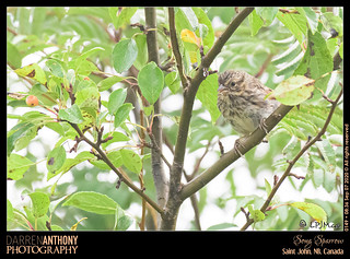 Song Sparrow | by dmanthony