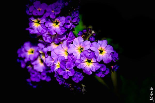 Flores Violetas de Vitacura