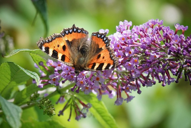 Painted Lady Butterfly!