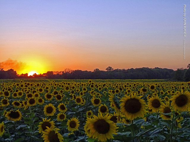 Sunflowers at Grinter Farms, 3 Sept 2020
