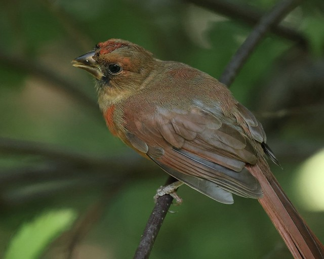 Young Northern Cardinal
