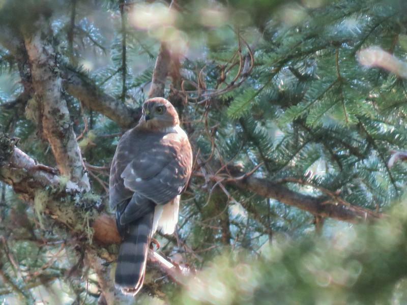 Hawk along the Whitehorse Meadows Trail