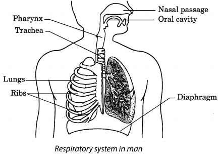 Respiration in Organisms Class 7 Extra Questions and Answers Science Chapter 10 6