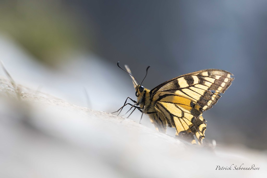 Machaon-Papilio machaon