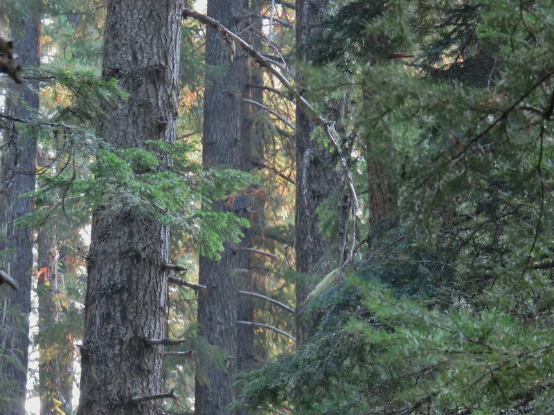 Owl hiding in mostly plain sight