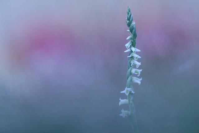 IMG_9889 - Spiranthe d'automne (orchidée)