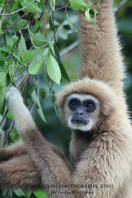 IMG_9476(W) Malaysian White-handed Gibbon (Hylobates lar lar)