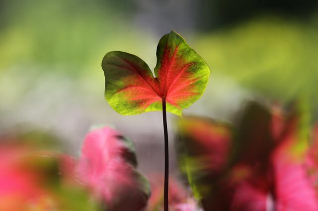 Fancy Leaf Caladiums