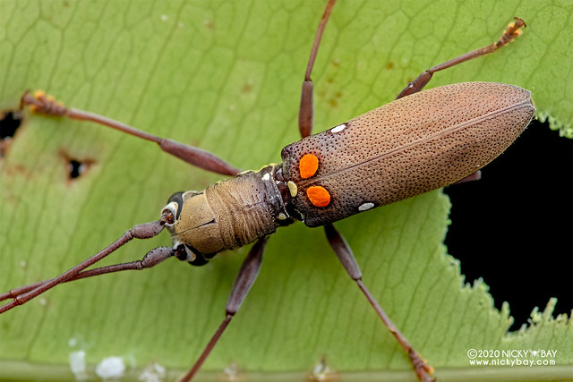 Longhorn beetle (Olenecamptus bilobus) - DSC_6463