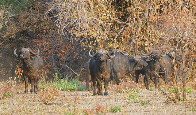 Cape buffaloes, near Paradise, Katavi National Park,  Tanzania