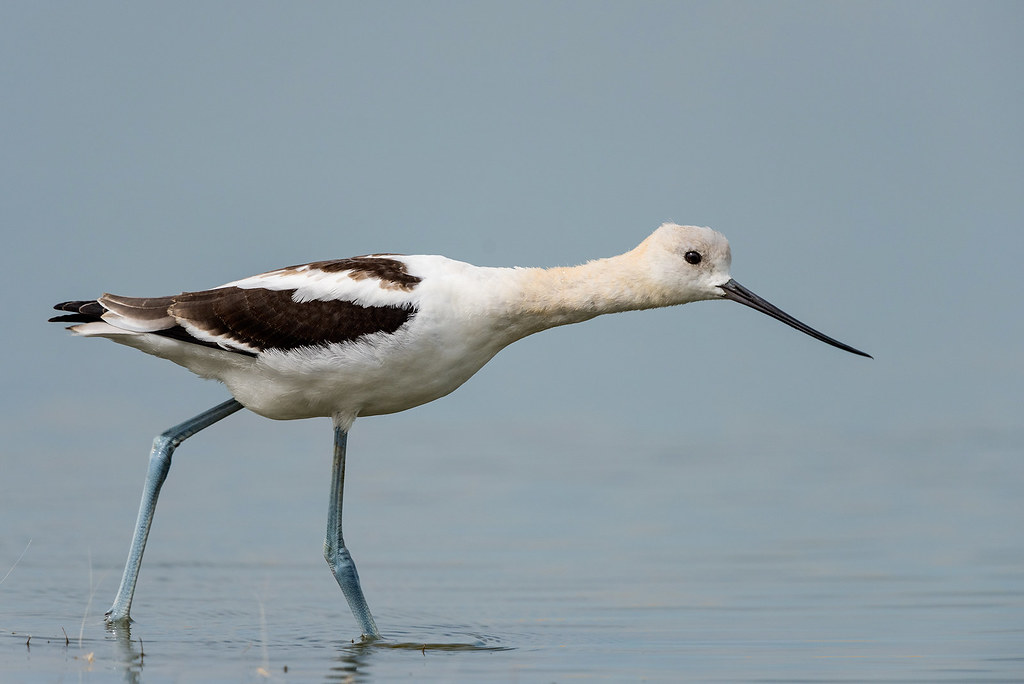 1708_2417 American Avocet   Yesterday my friend Madonna told…   Flickr