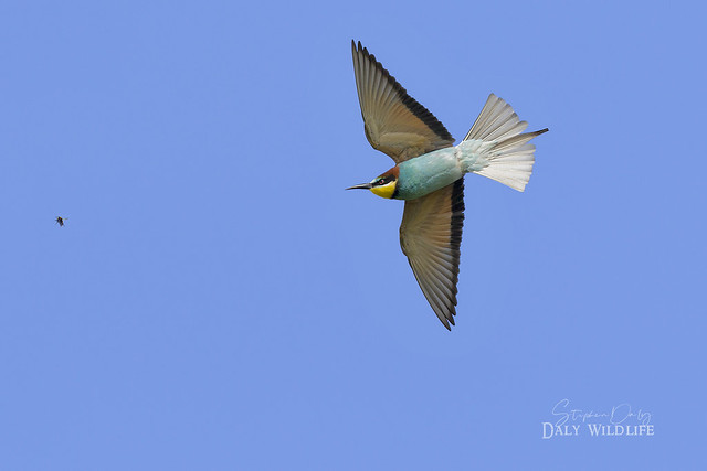 European Bee-eater hunting_w_1248