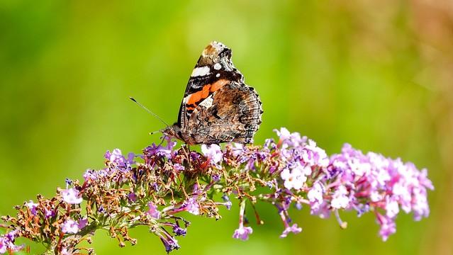 Butterfly - 8837