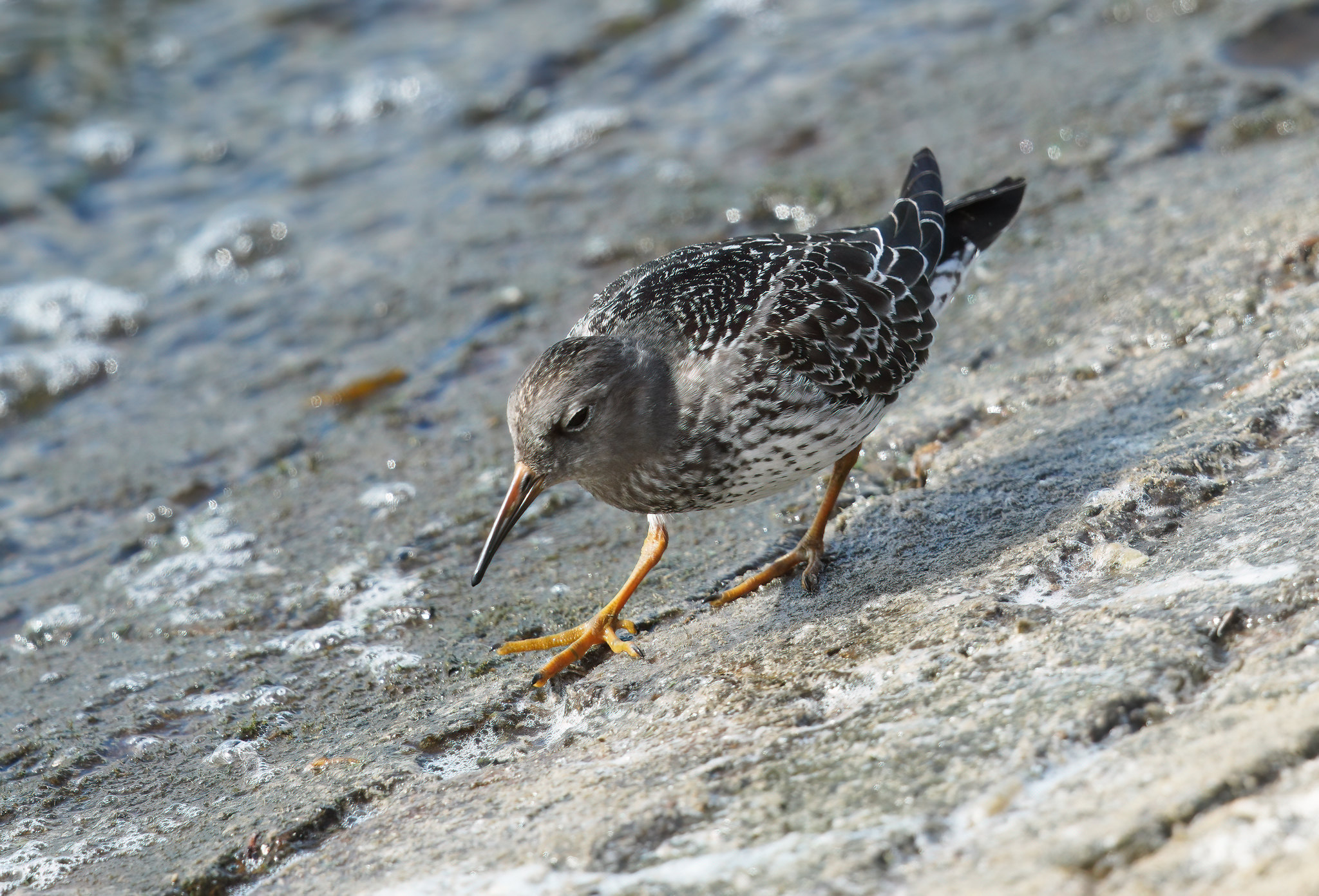 Juv. Purple Sandpiper - messing with CiZoom on A7R4