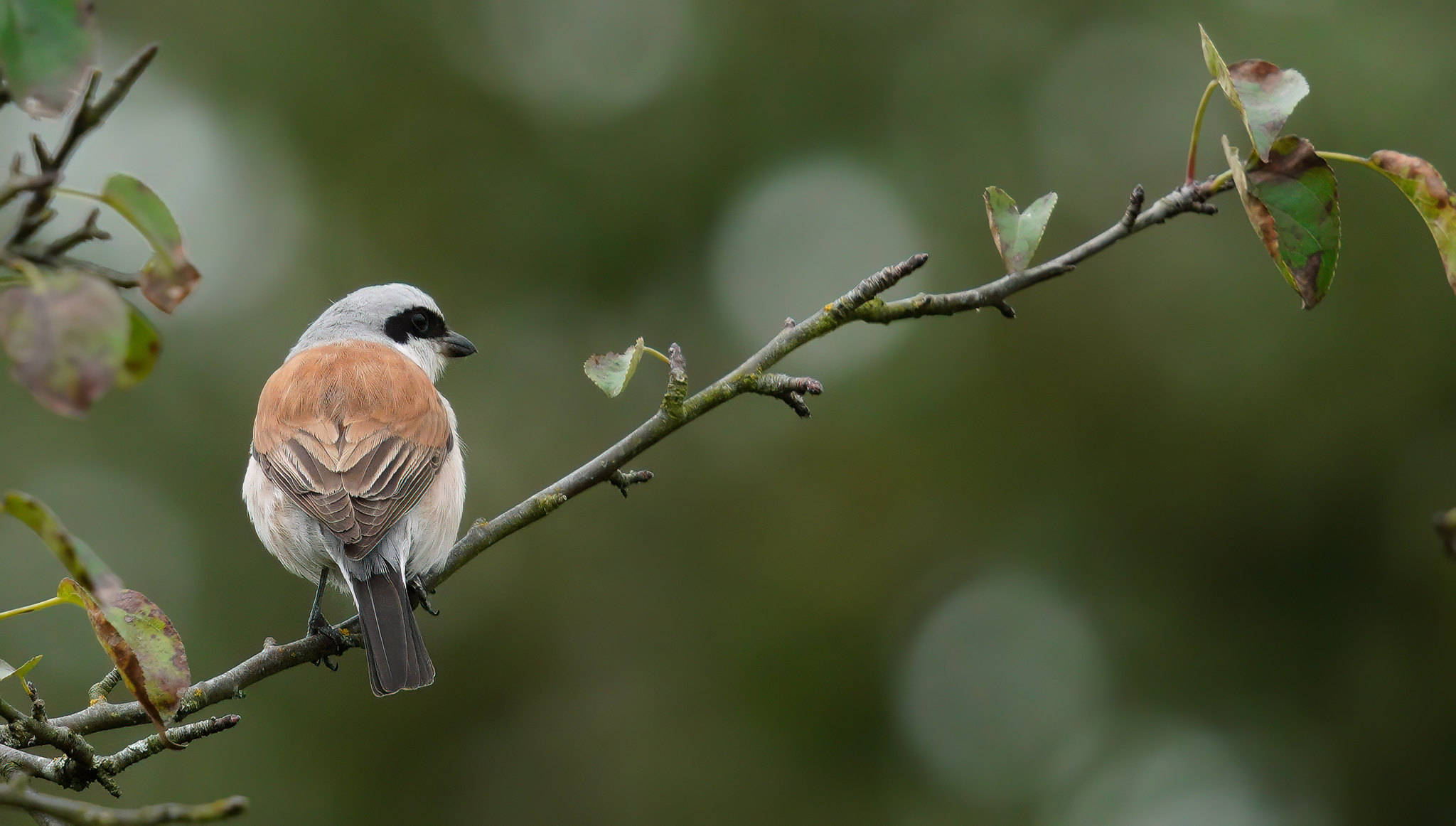 Male Red-backed Shrike - messing with CiZoom on A7R4