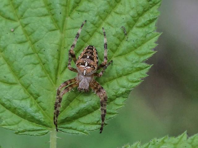 Garden-cross Spider. try large.