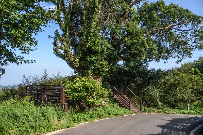 大樟樹觀景台 (2)