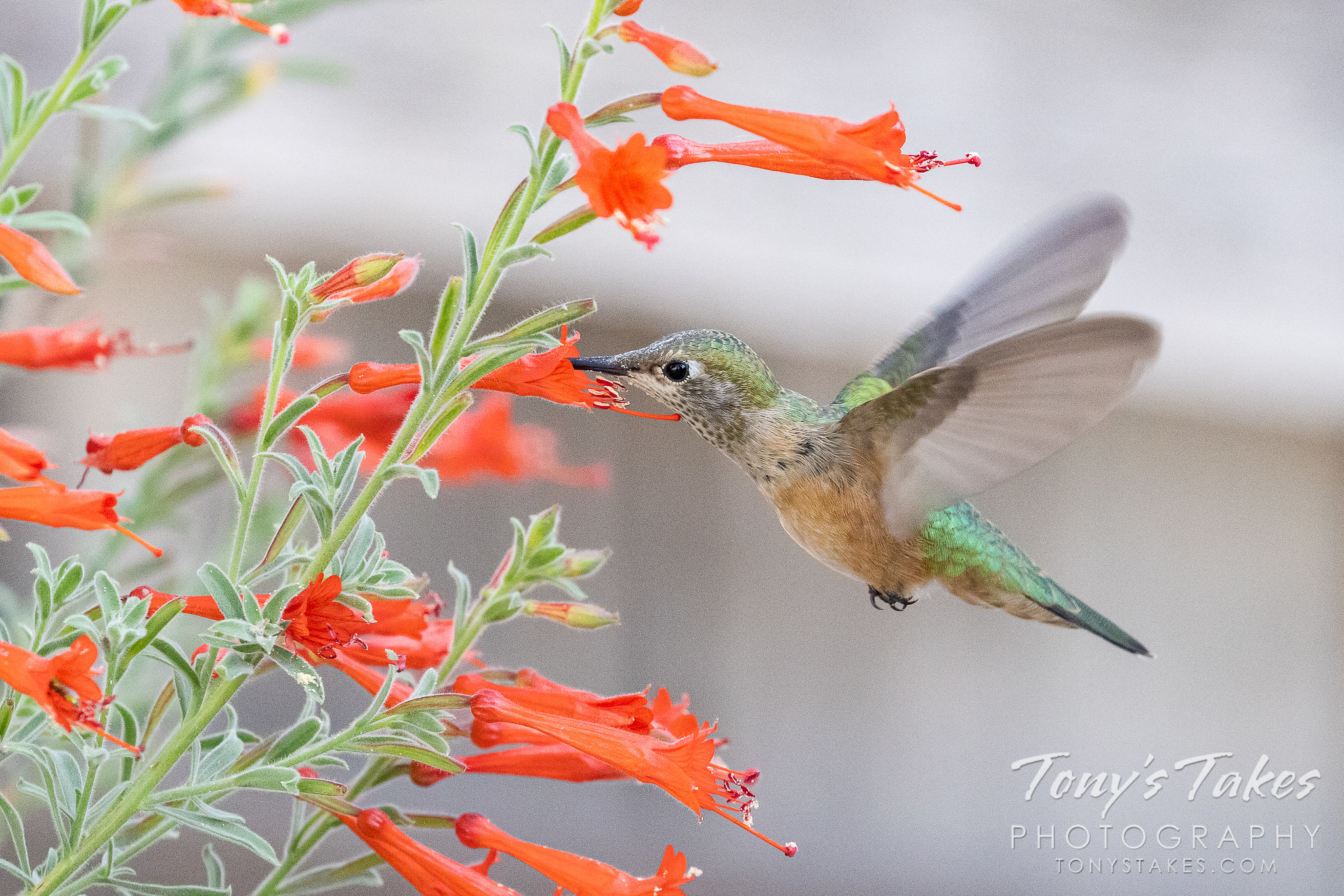 A broad-tailed hummingbird gets a snack from a flower in Thornton, Colorado. (© Tony's Takes)