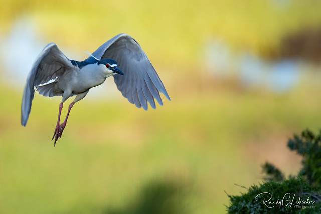 Black-Crowned Night Heron - Nycticorax nycticorax | 2020 - 4