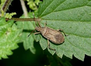 Slender-horned Leatherbug --- Ceraleptus lividus