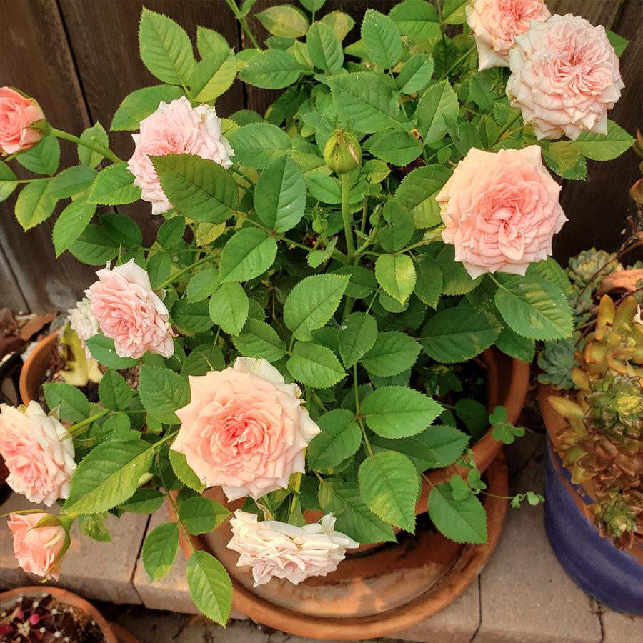 rosie-roses