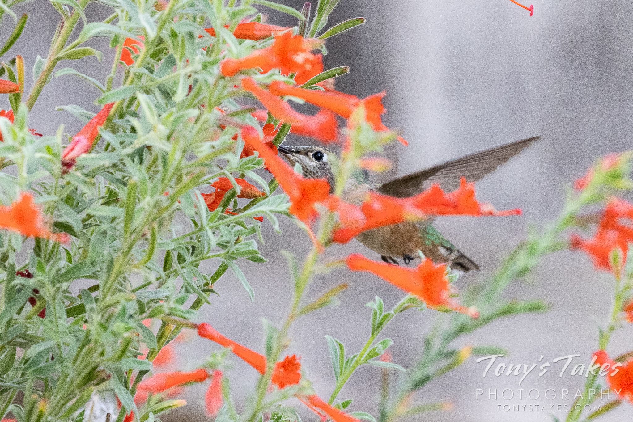 Backyard hummingbirds for National Hummingbird Day