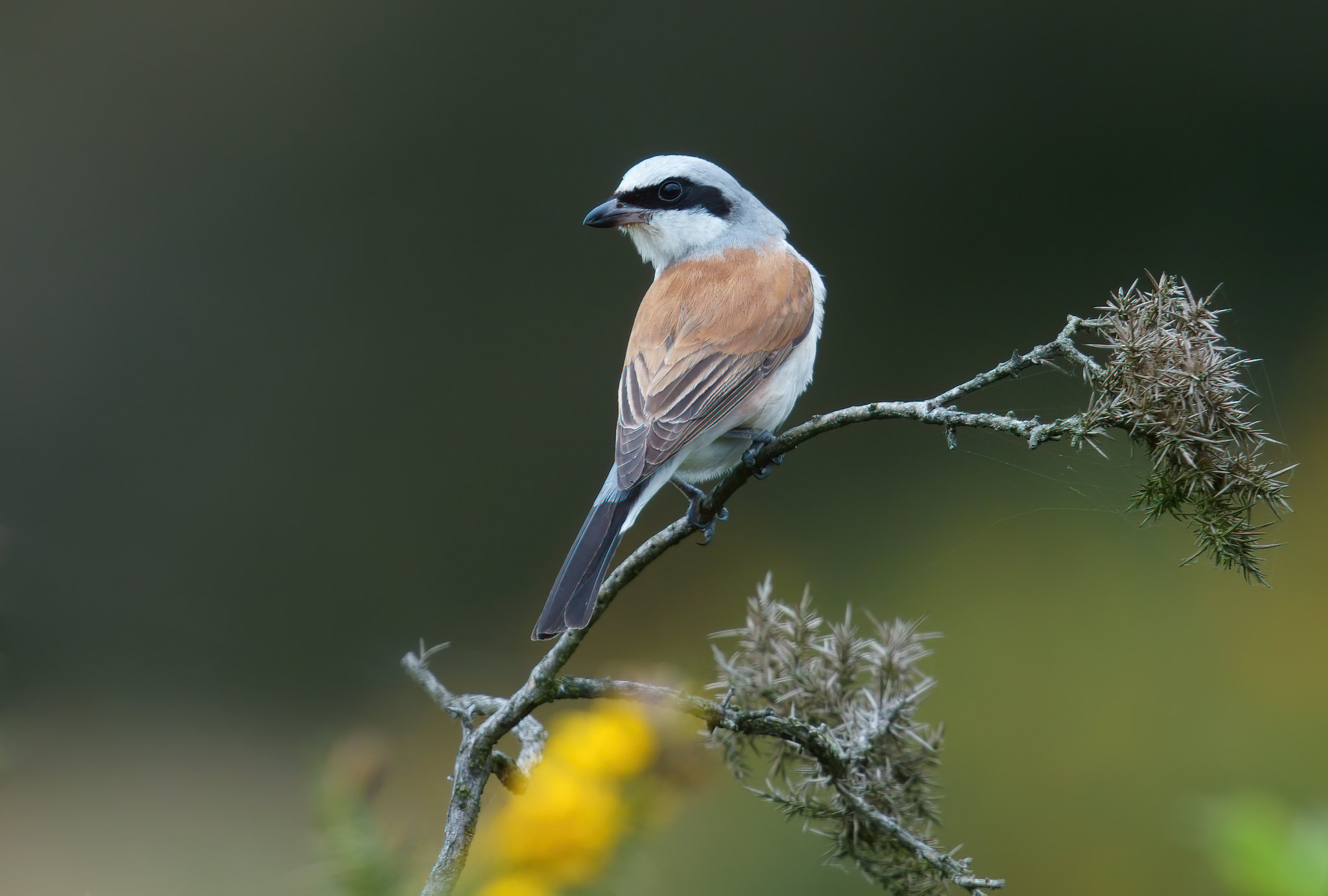 Male Red-backed Shrike