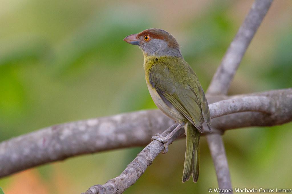 Pitiguari / (Cyclarhis gujanensis)