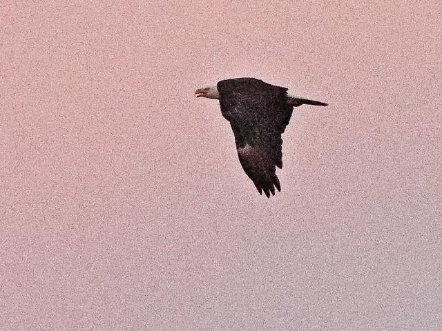 Bald Eagle 02-20200909