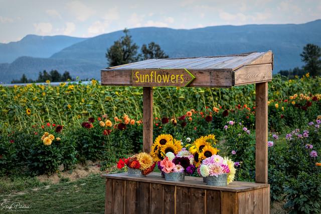 Chilliwack Sunflower Festival (2020)
