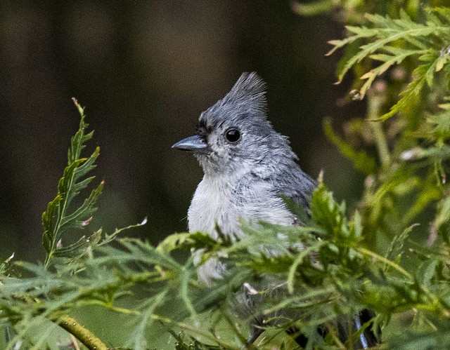 Tufted Titmouse in the Dwarf Maple Tree
