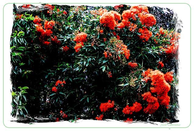 IMG_2300_Eucalyptus Flower