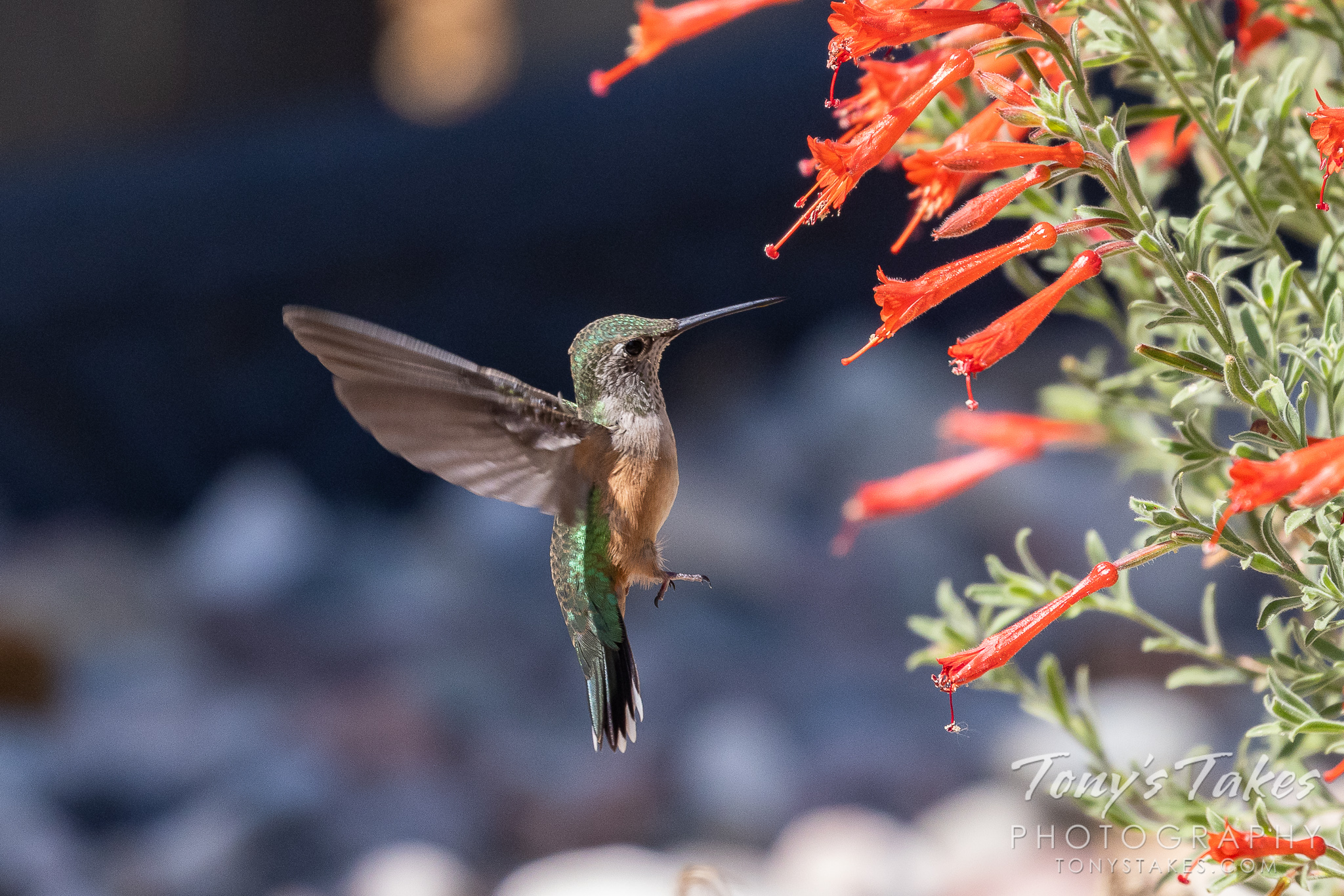 A broad-tailed hummingbird decides which flower to snack on. (© Tony's Takes)