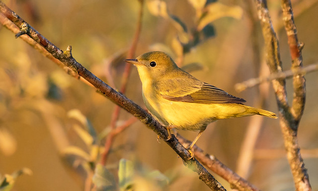 Yellow Warbler In Sunset Light