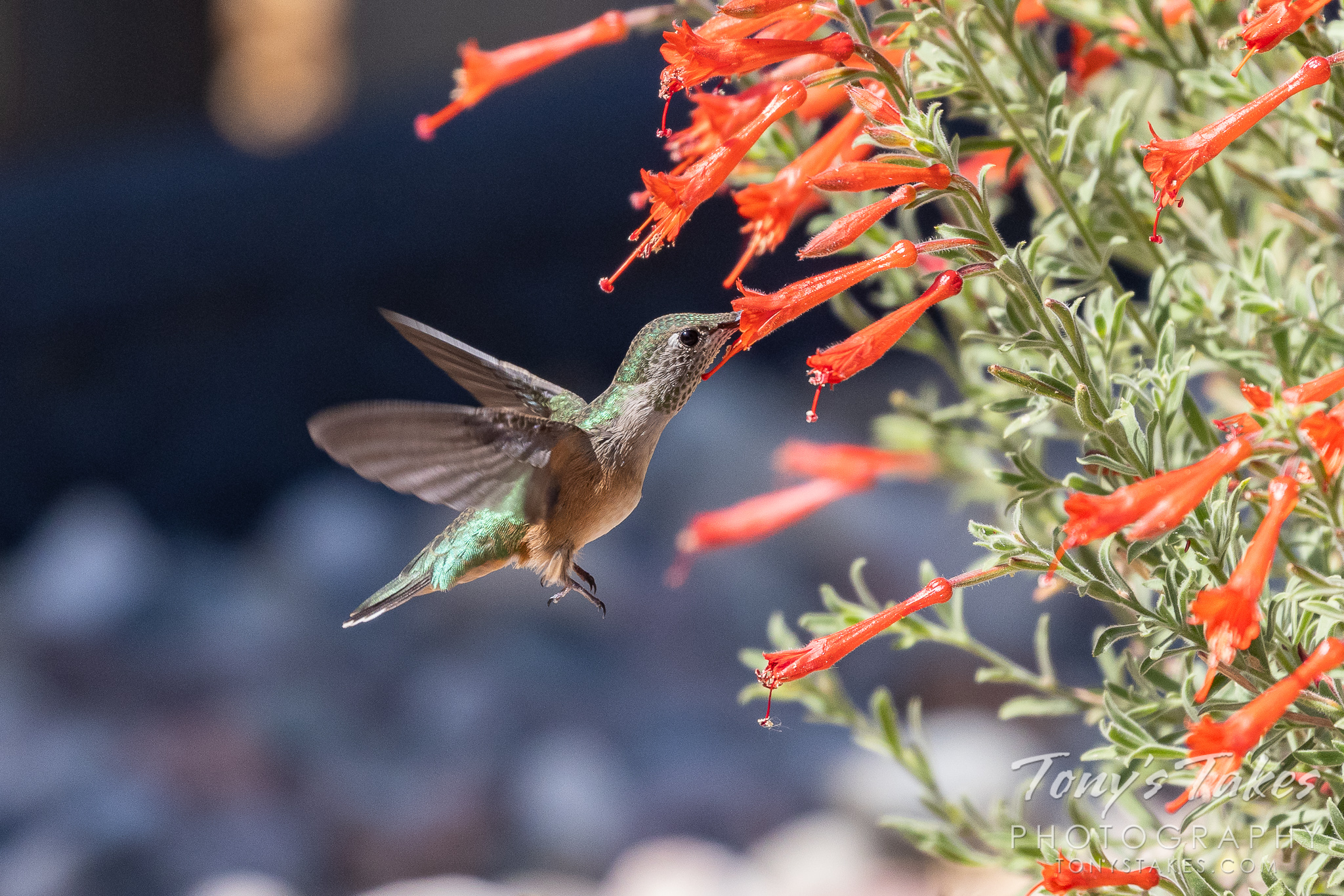 A broad-tailed hummingbird enjoys a meal from a flower. (© Tony's Takes)