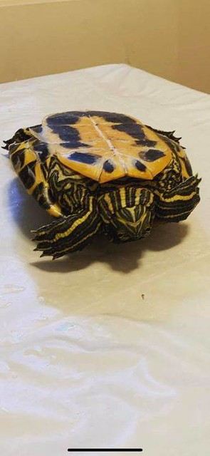 LOST small yellow/black spots turtle in #Panoramahills call/text 403-926-2356 if sighted/found Pls rt, watch, share help find Buddy Photos from Jodi Wong's postvpdescription by Photos from Jodi Wong's post LOST small yellow/black spots turtle in #Panorama