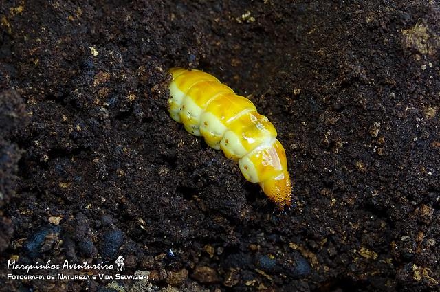 Larva de besouro (Beetle larva)