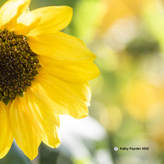 Sunflower square 2388